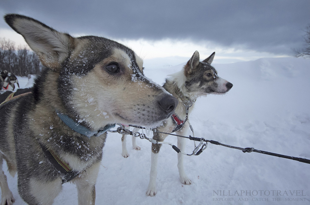 Sweden_Abisko_dogsledding1