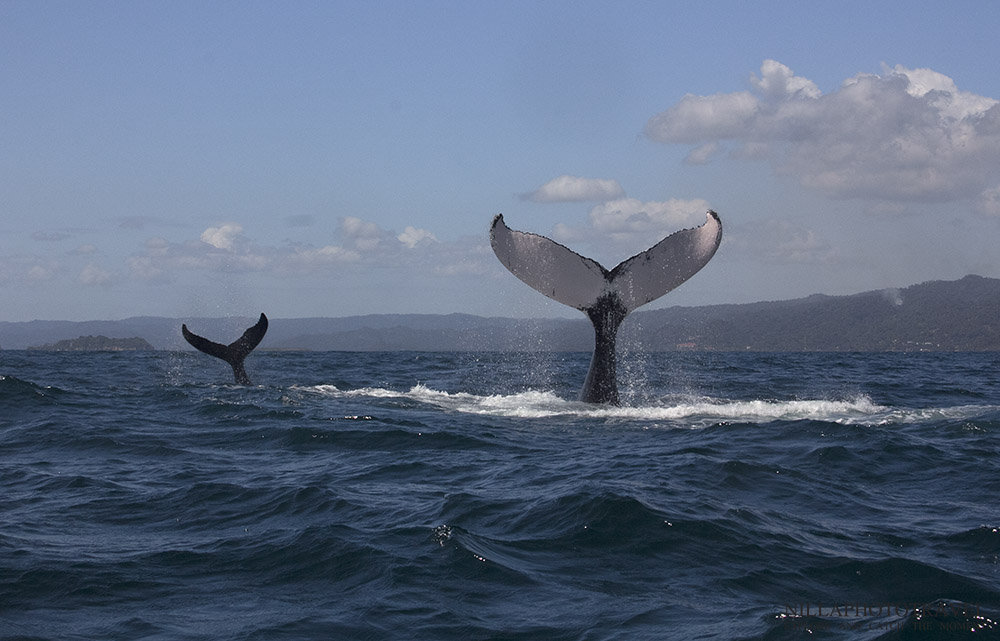 Dominican Republic_Samana_Whale watching